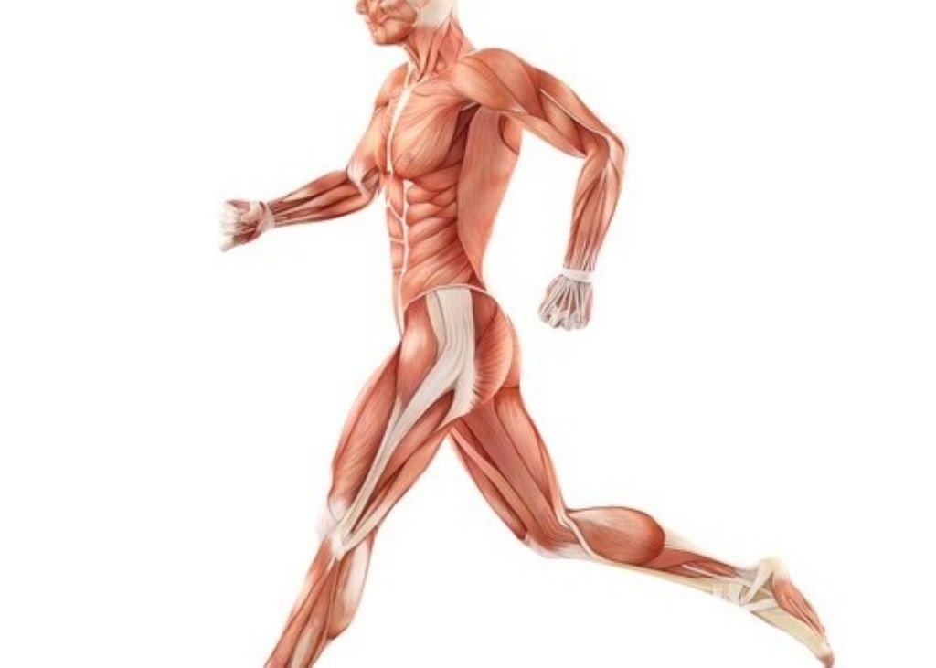 musculo-sano