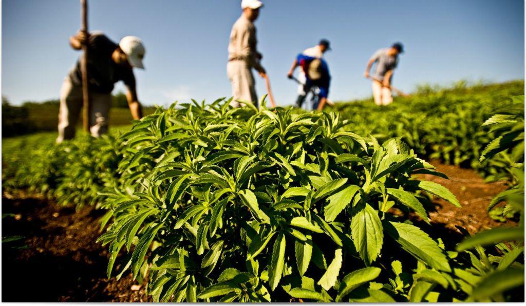 plantacion stevia
