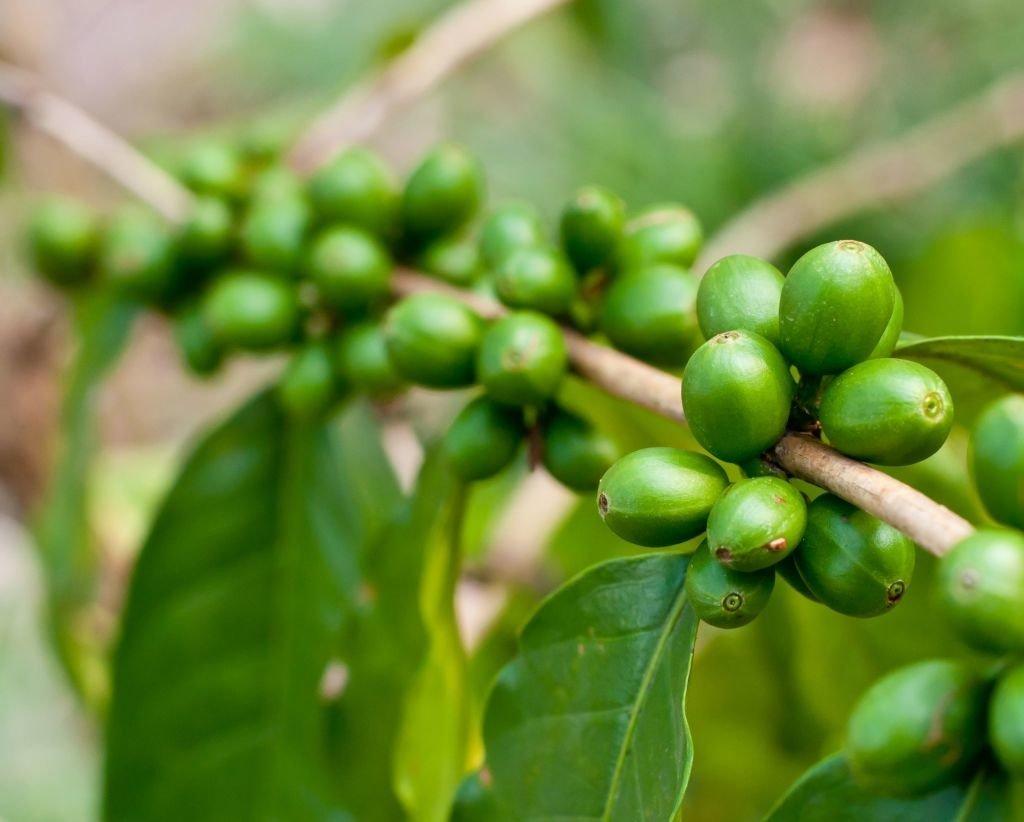 bayas café verde