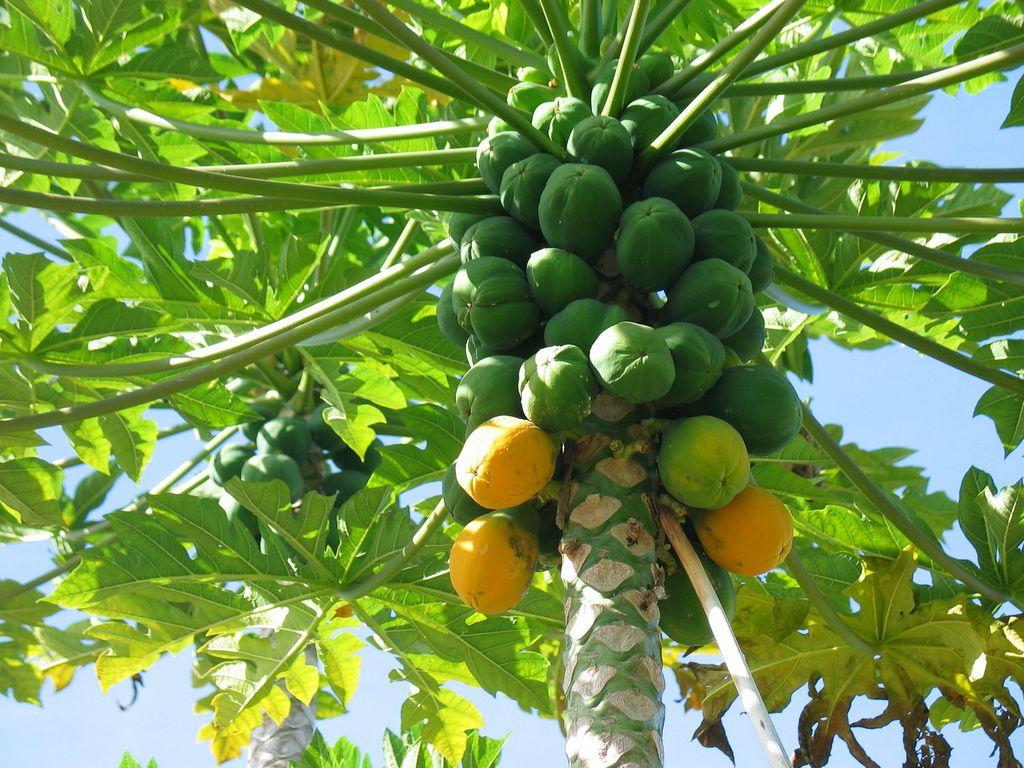 , 7 beneficios de la papaya probados por la ciencia (#7 te va a sorprender)