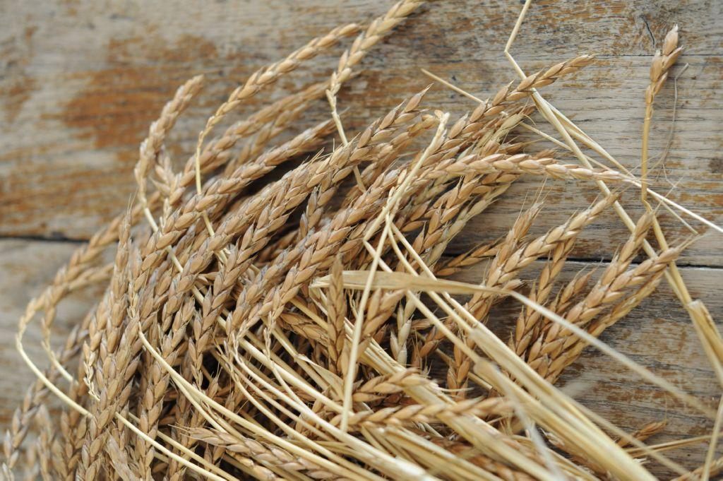 cosecha-espelta