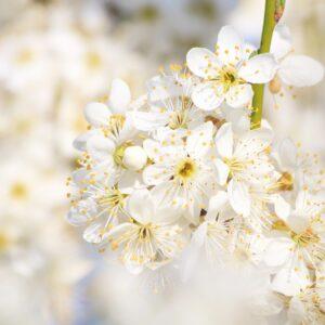 ¿Qué es el espino blanco y para qué sirve?